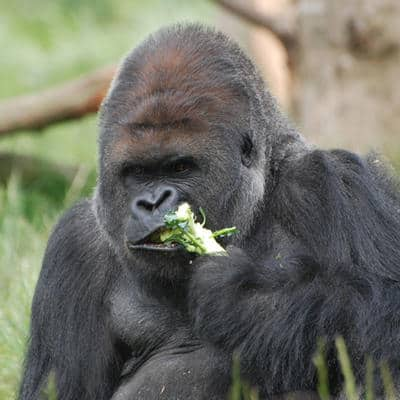 Eat like a gorilla your scientifically proven best diet garma on eat like a gorilla say scientists forumfinder Image collections